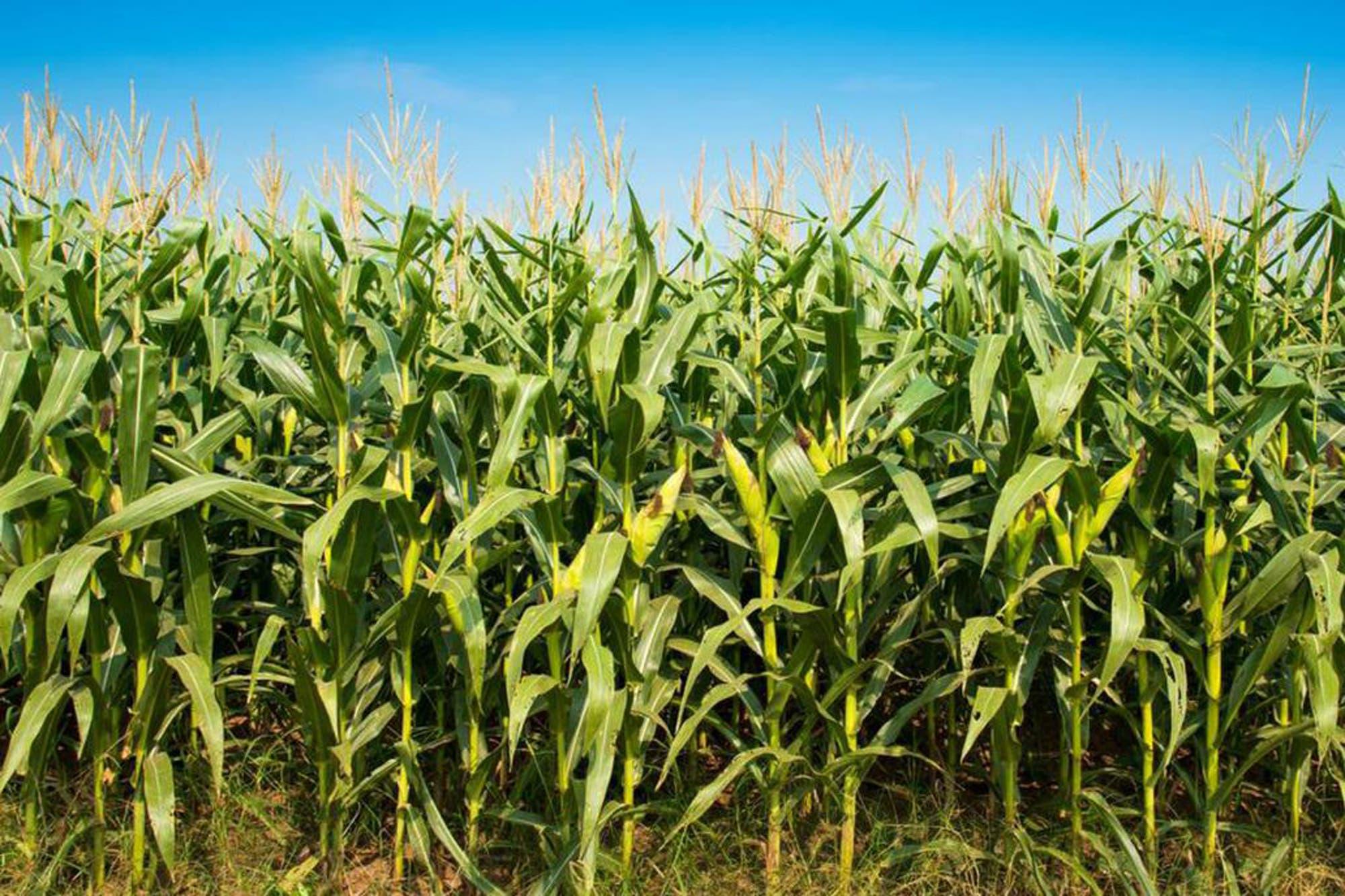 La exportación mantuvo firme el precio del maíz