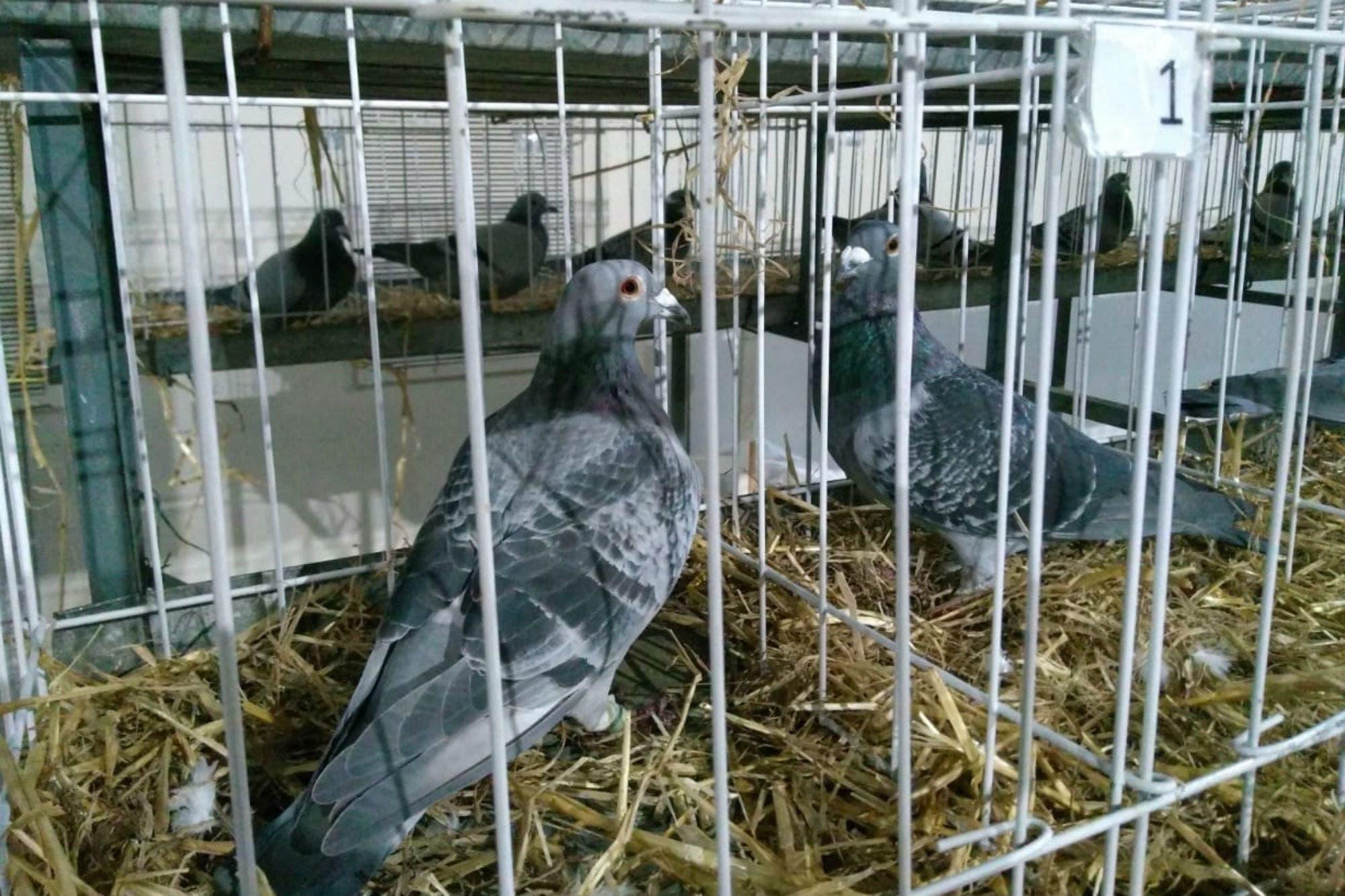 Exposición Rural. Tras 25 años, volvieron las palomas mensajeras a la muestra