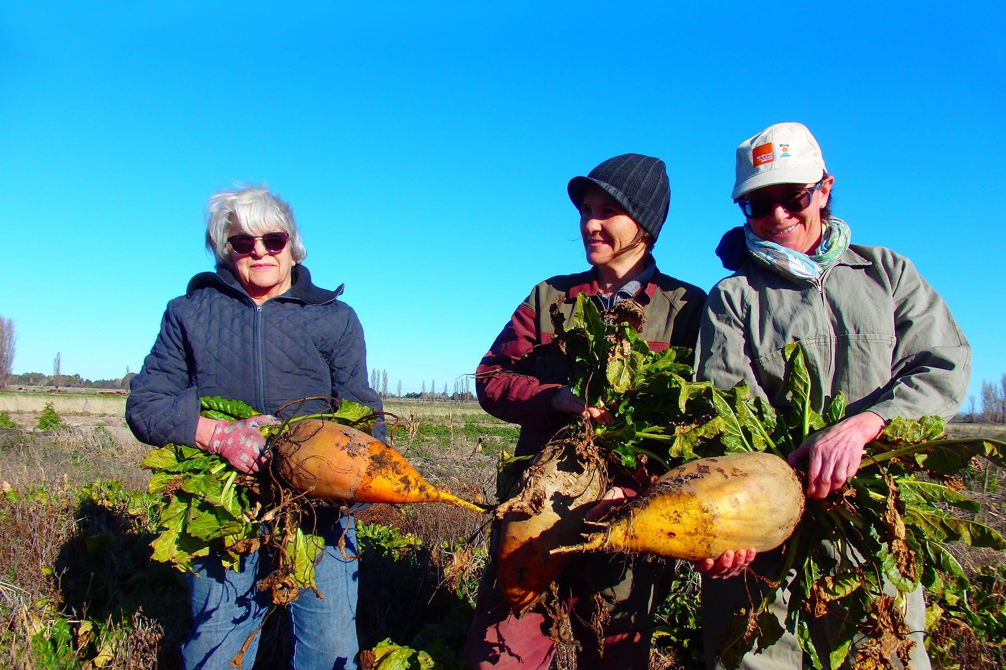 Ganadería intensiva. En la Patagonia apuestan a la remolacha forrajera