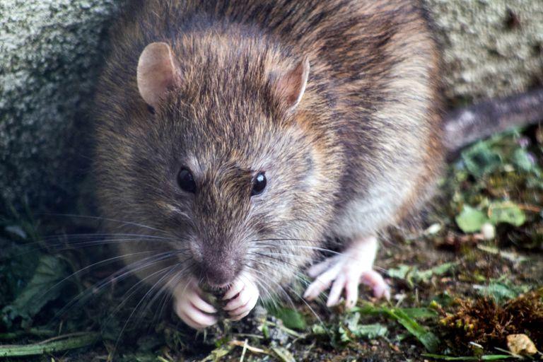 """una-mujer-denuncio-que-fue-atacada-por-""""mas-de-100-ratas""""-mientras-caminaba-por-un-parque"""
